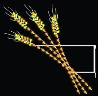 6' Wheat
