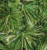 Royal Pine